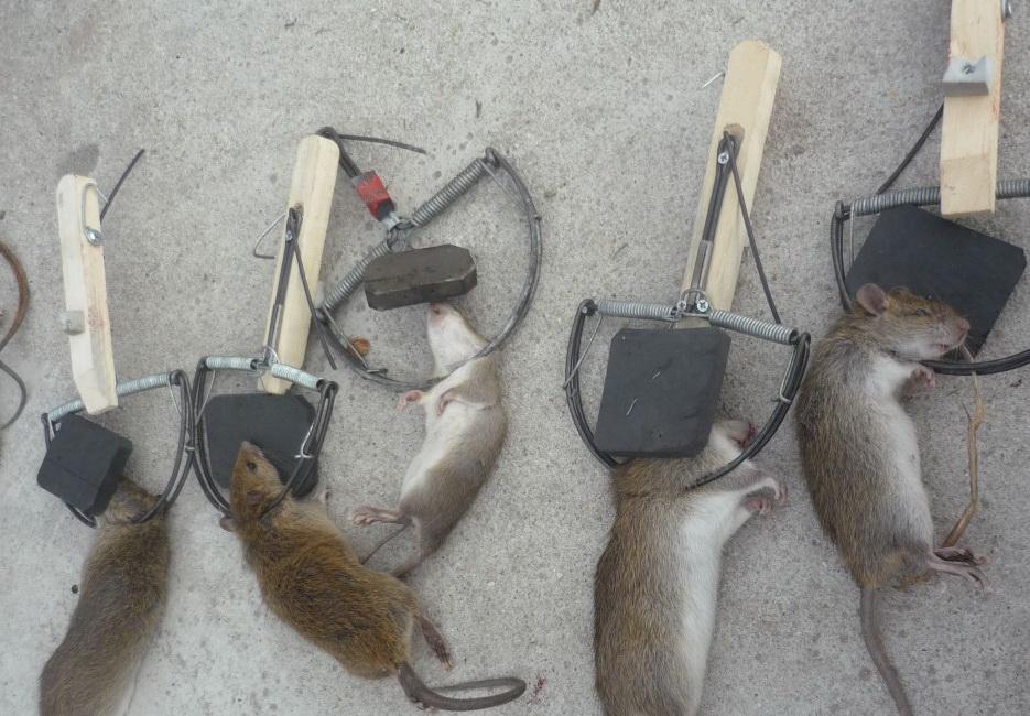 Rat elimination